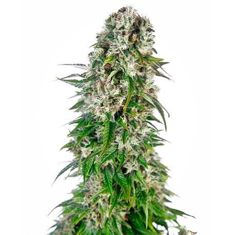 Big Bud Auto X3 - Sensi Seeds | Z1