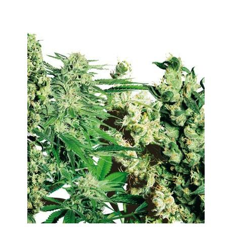 Feminised Mix X10 - Sensi Seeds| Z1