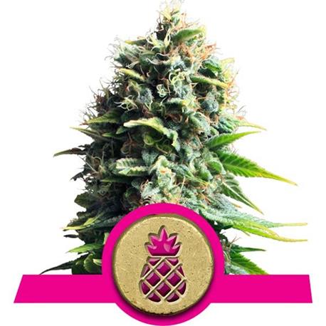 Pineapple Kush X1 - Royal Queen Seeds | Z1