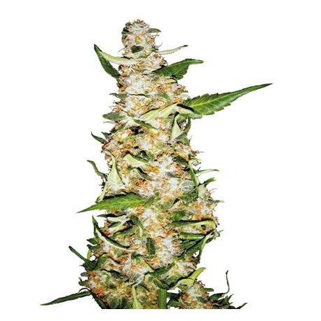 Skunk N1 Automatic X3 - Sensi Seeds| Z1