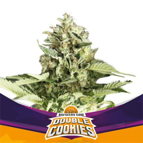 Star Player Double Cookies X4 - BSF Seeds | Z1
