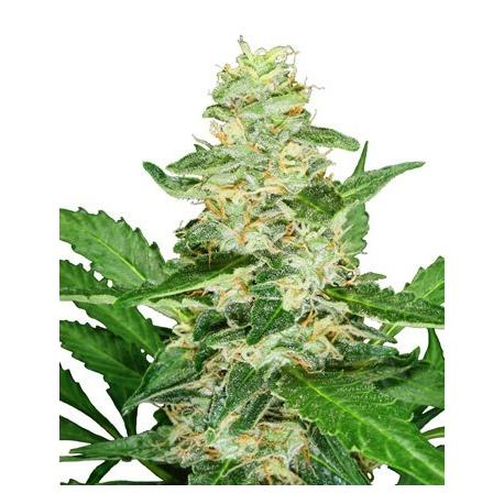 Super Skunk Automatic X3 - Sensi Seeds| Z1