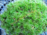 Live Mood Moss for Terrariums Vivariums Moss Gardens Flower Pots