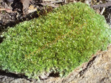 Live Fresh Cushion Moss for Terrariums, Vivarium, Fairy Gardens, Bonsai
