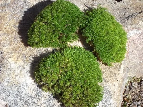 "Live Moss Pads for Terrariums Fairy Gardens Miniature Garden Decor 3-4 Pieces 2""-4"""