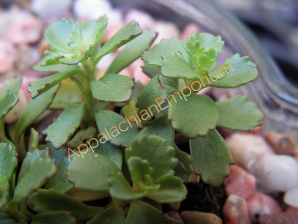 Sedum hybridum 'Immergrunchen' Hardy Succulent Plugs 1x1 for Terrariums, Fairy Gardens, Ground Cover