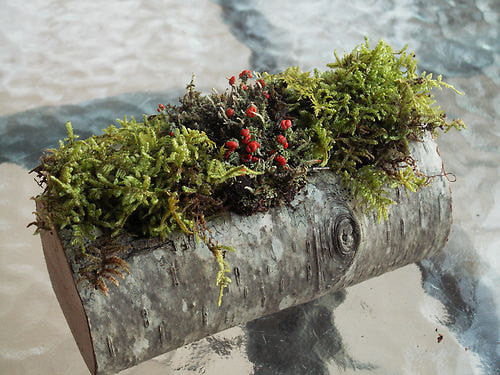 Real Birch Bark LogTerrarium Kit British Soldier Lichen Garden Log