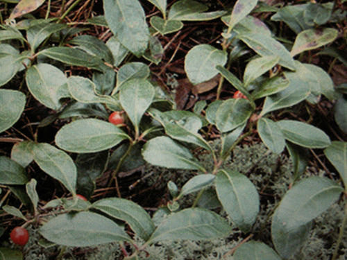 teaberry plant
