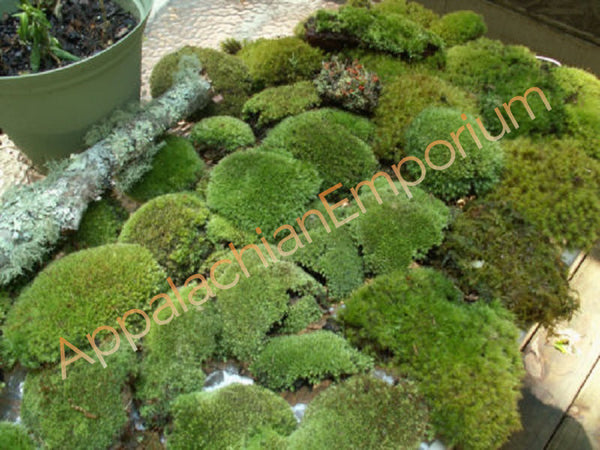 Super Mix Live Fresh Moss for Terrariums, Vivariums,  Bath Mats, Moss Dish Gardens, Flower Pots