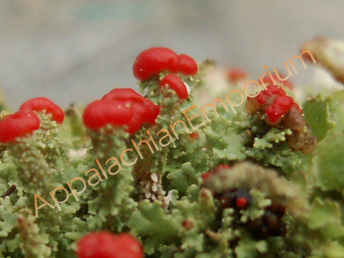 Large 5 Pack Live British Soldier Lichen/Cladonia for Terrariums (Cladonia cristatella)