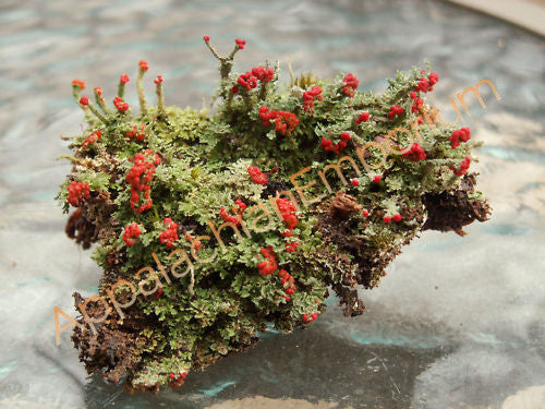 2 Pc British Soldier Lichen Cladonia for Terrariums Fairy Gardens Bonsai
