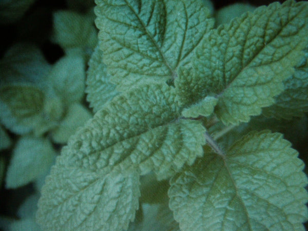 5 Pack Lemon Balm 'Melissa Officinalis' Herb Plant Organic Fragrant