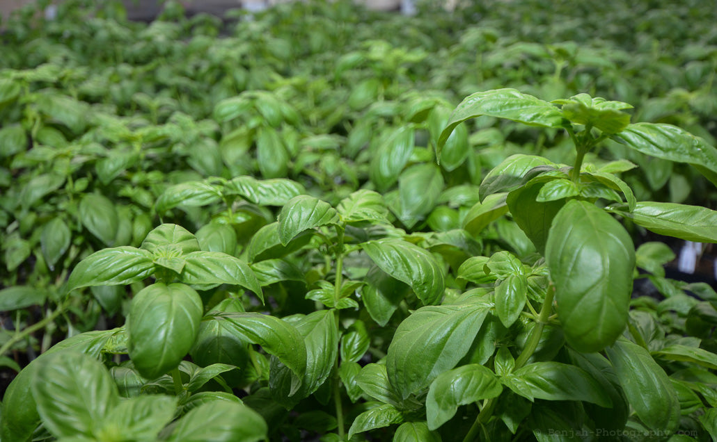 The Beauty of Basil