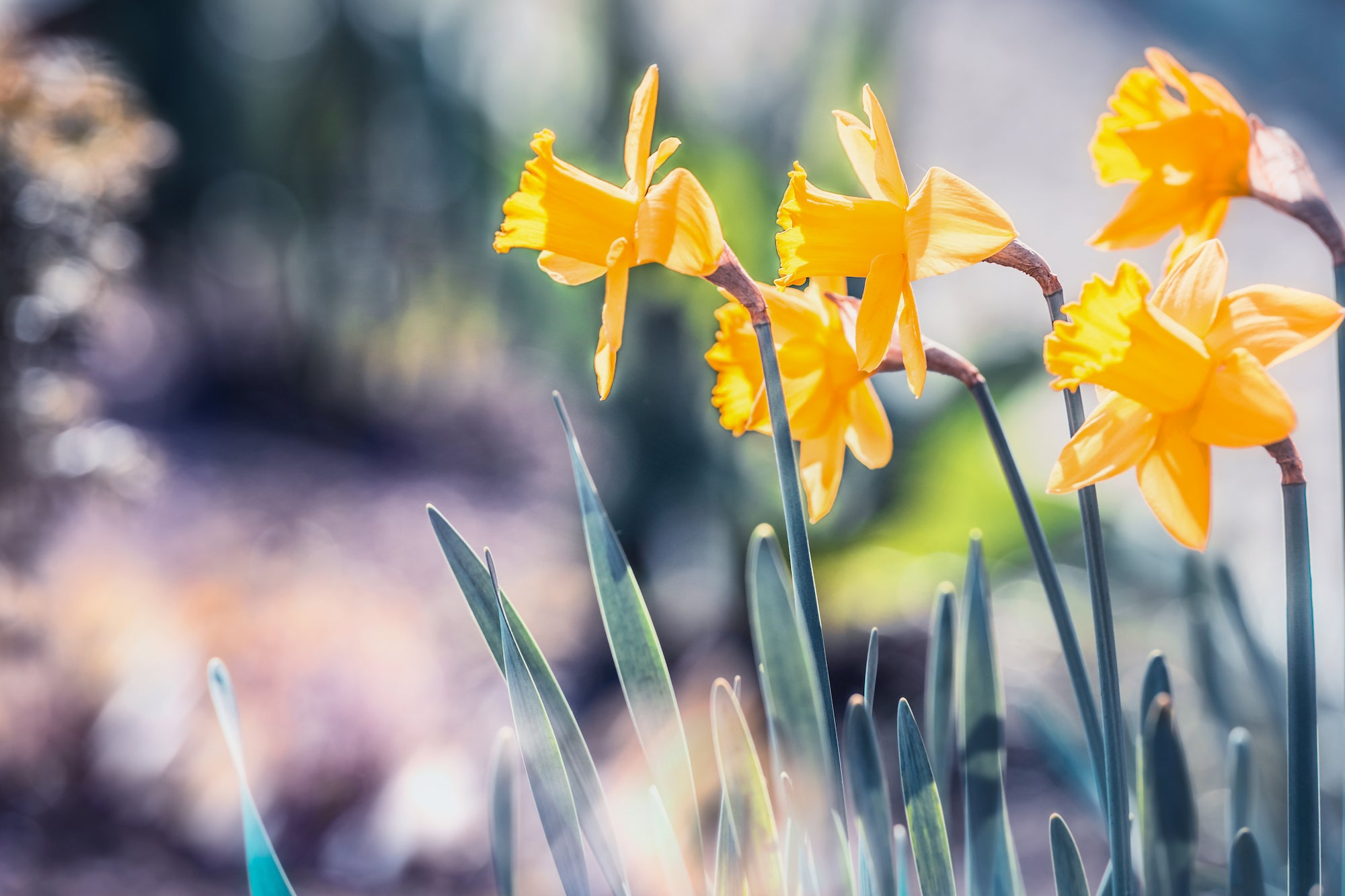 Daffodils Are Easy To Plant!