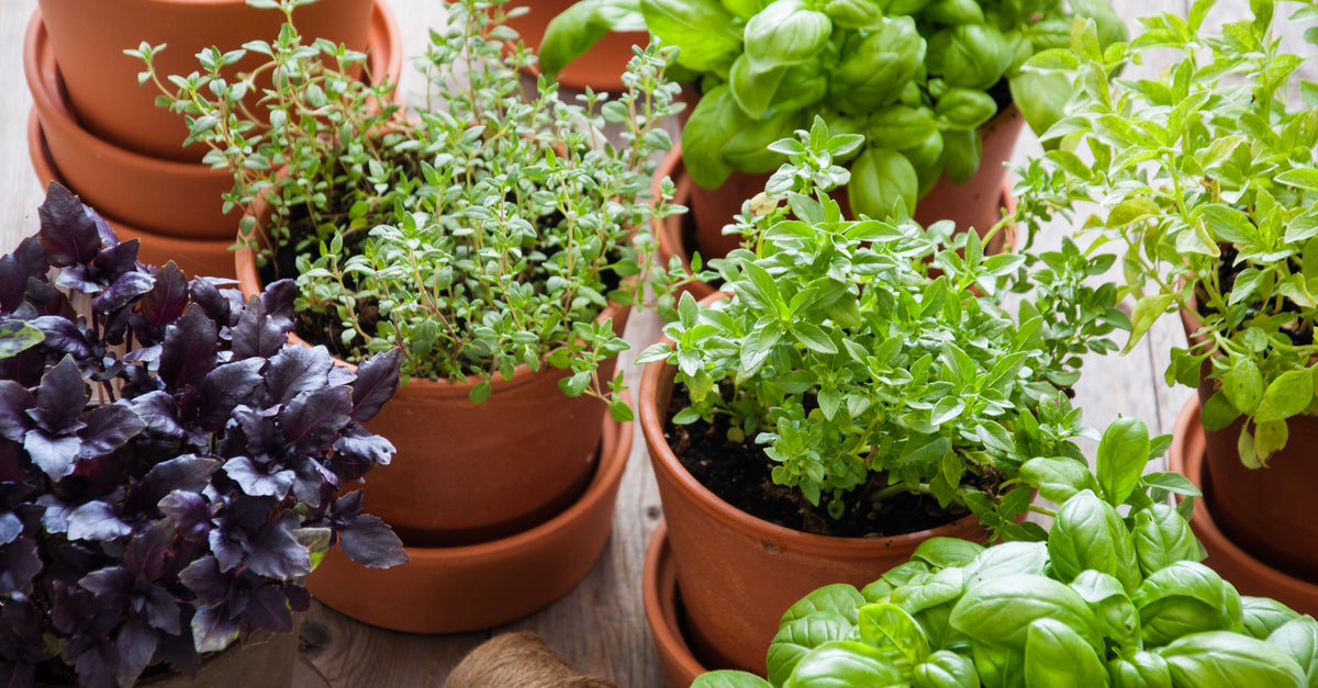 Creating An Indoor Aromatic Herb Oasis
