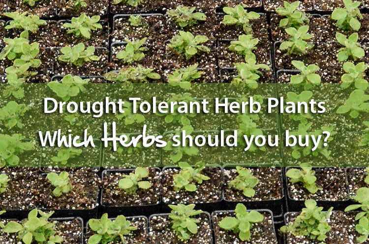 A List of Drought Tolerant Herb Plants