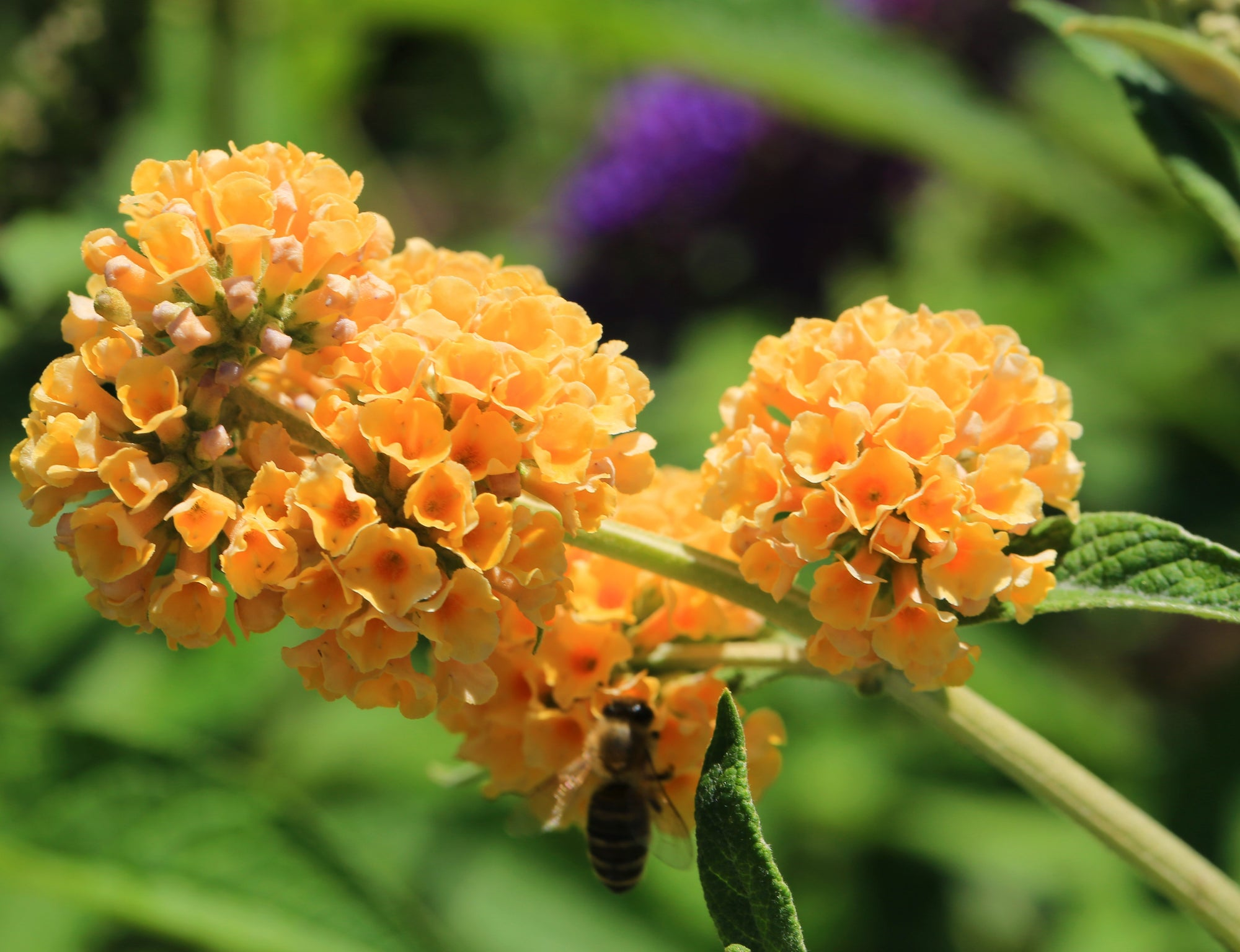 Butterfly Bush 'Golden Glow'