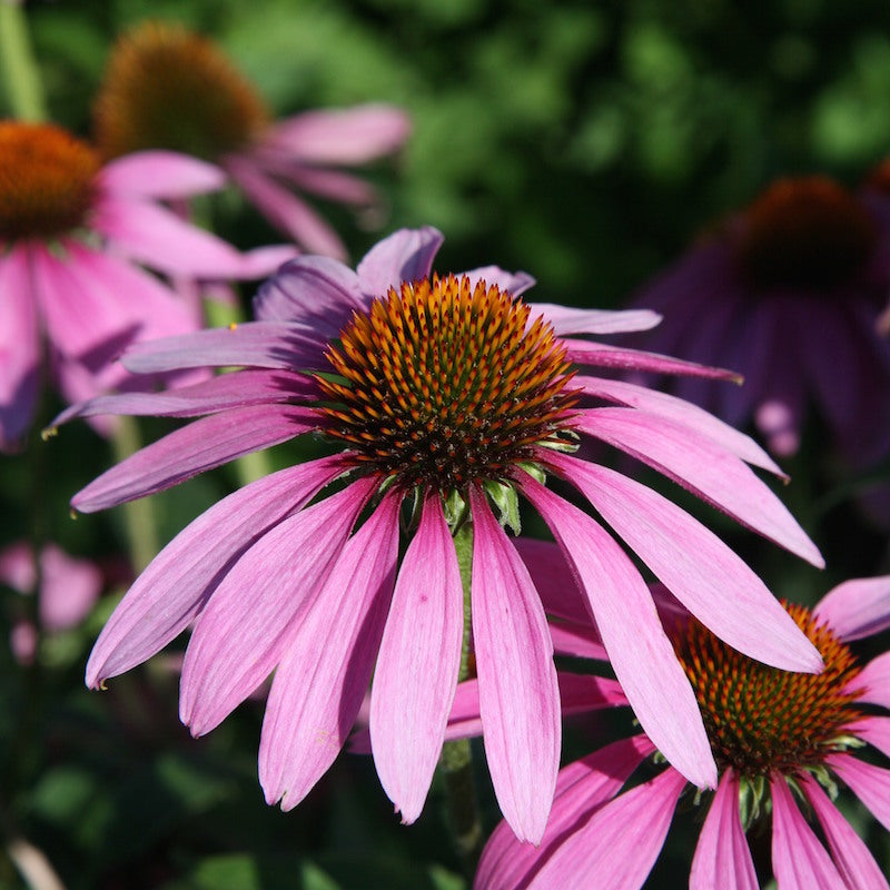 Echinacea, Purple Coneflower