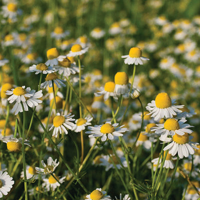 Chamomile 'German'