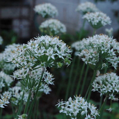 Chives, Garlic