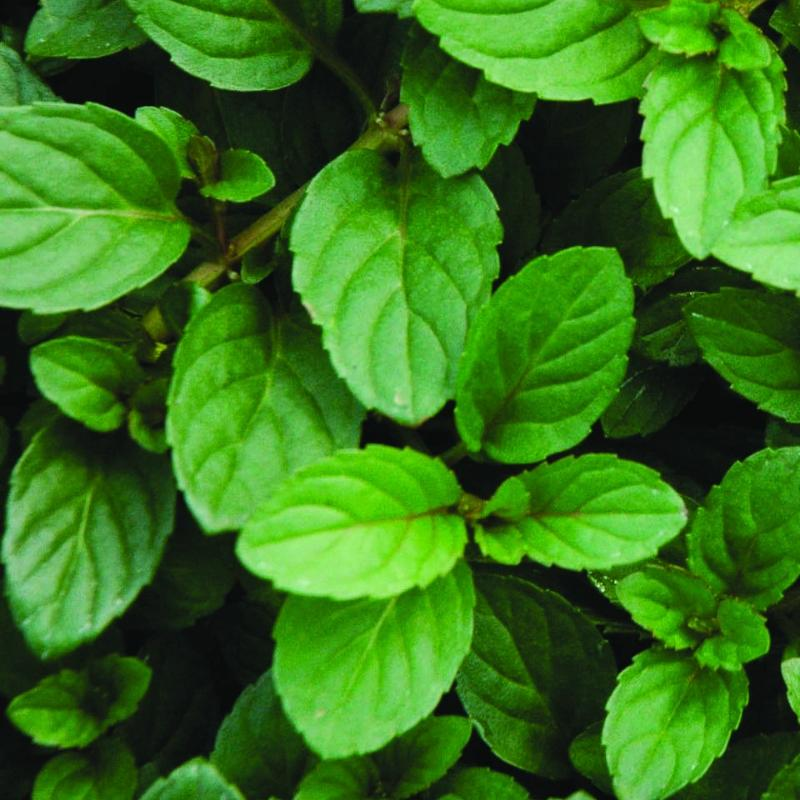 Mint 'Peppermint'