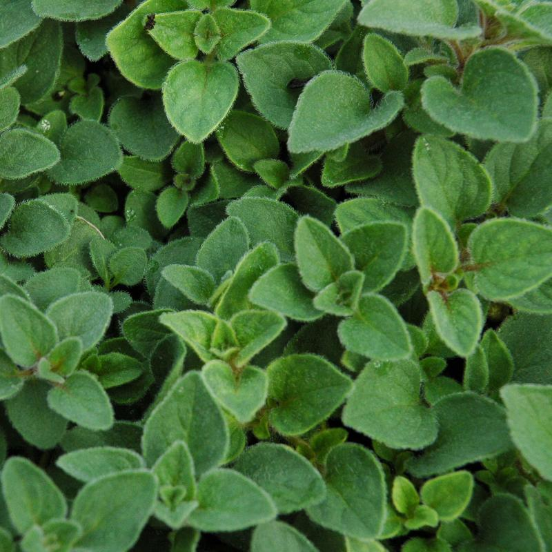 The Ultimate Guide To How To Germinate Marjoram Seeds