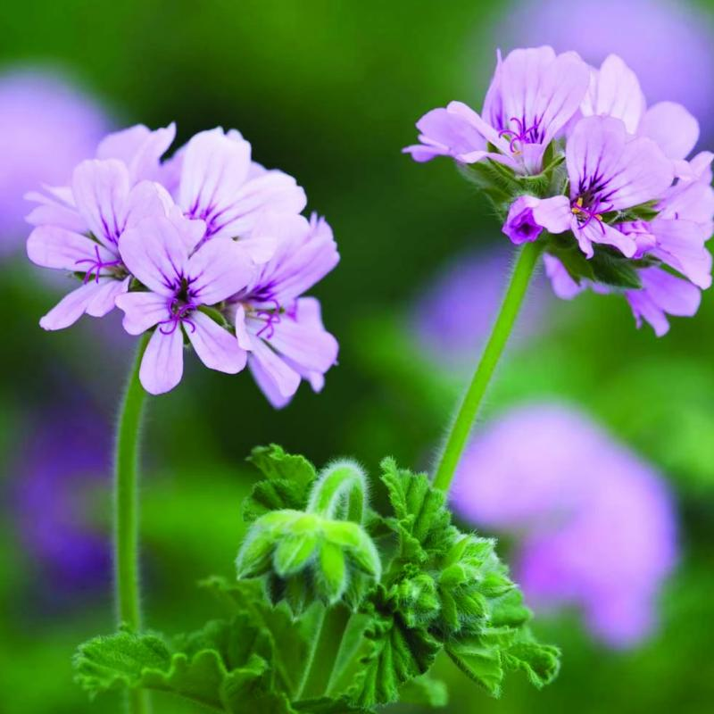 Scented Geranium 'Attar of Rose'
