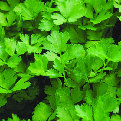 Parsley 'Italian Flat Leaf'