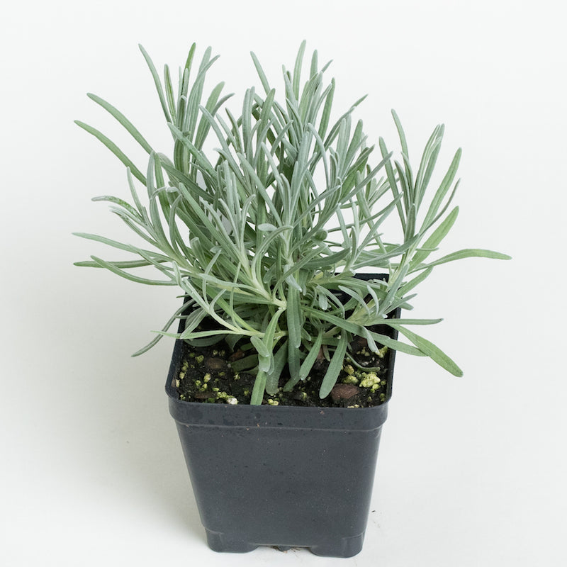 Lavender Provence Plants For Sale Lavandula X Intermedia