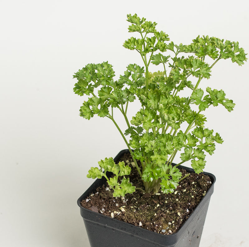 Parsley 'Curly'