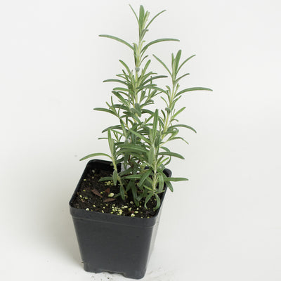 Rosemary 'Hill Hardy'