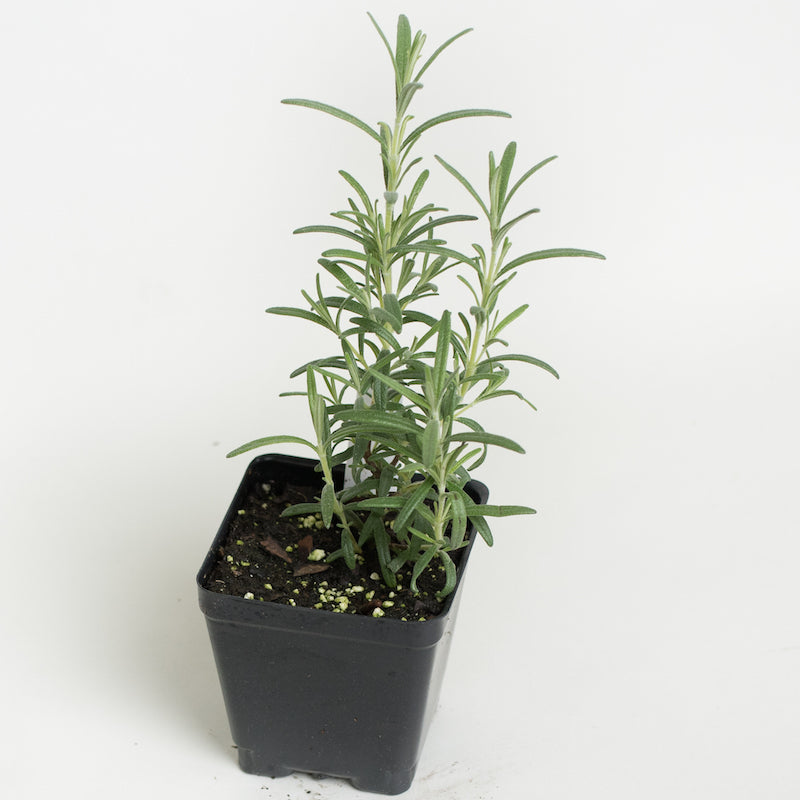 Rosemary Hardy Hill Plants For Sale Rosmarinus Officinalis The