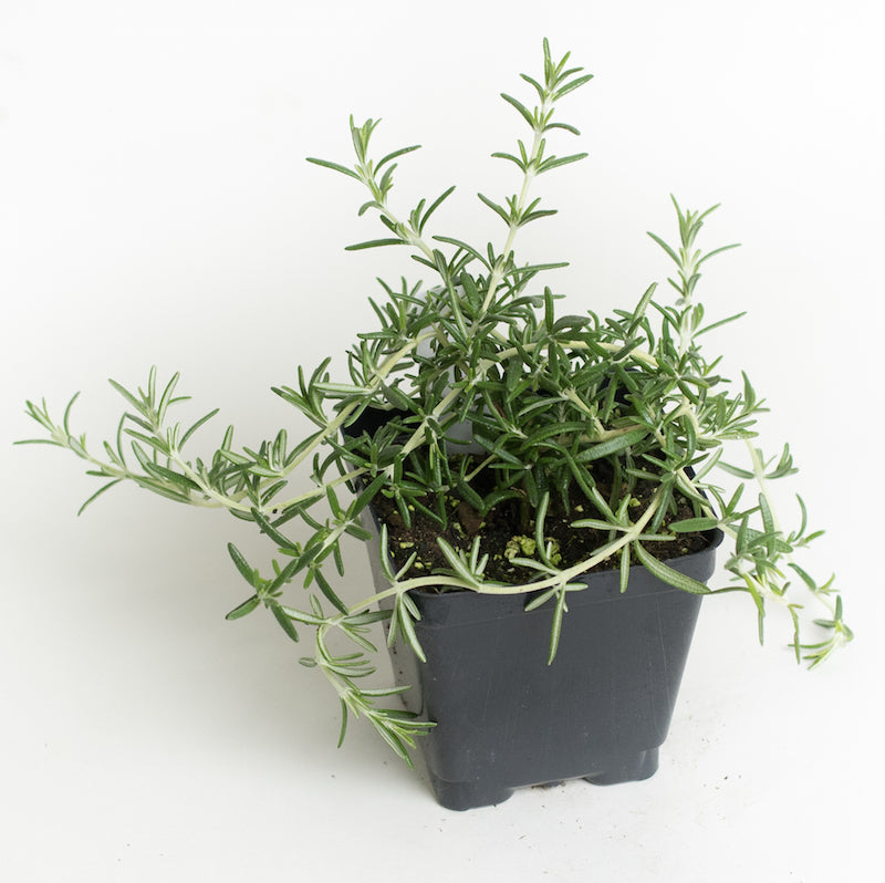 Rosemary 'Prostrate'