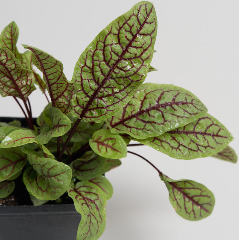 Sorrel 'Bloody Dock'