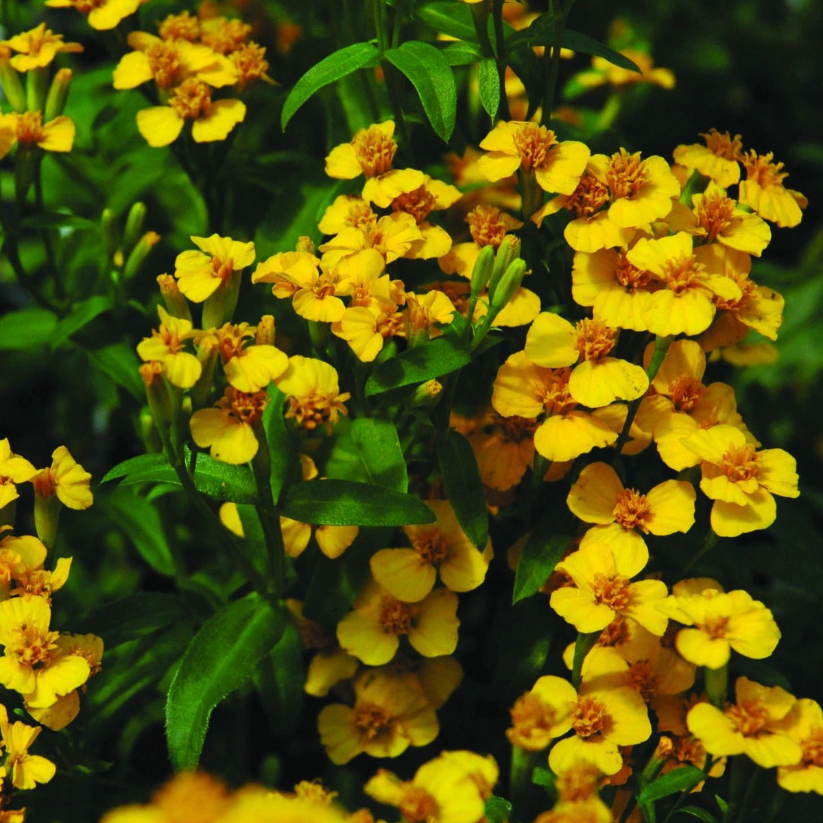 Tagetes 'Mexican Mint Marigold'
