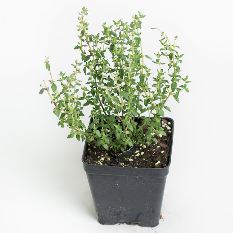 Thyme 'French'