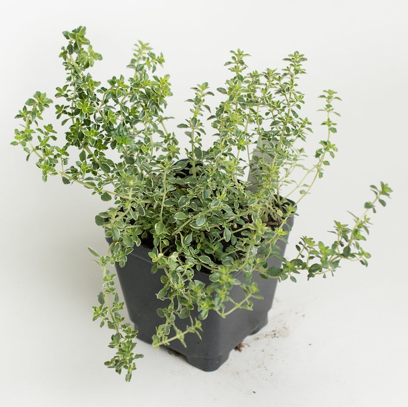 Thyme 'Golden Variegated'
