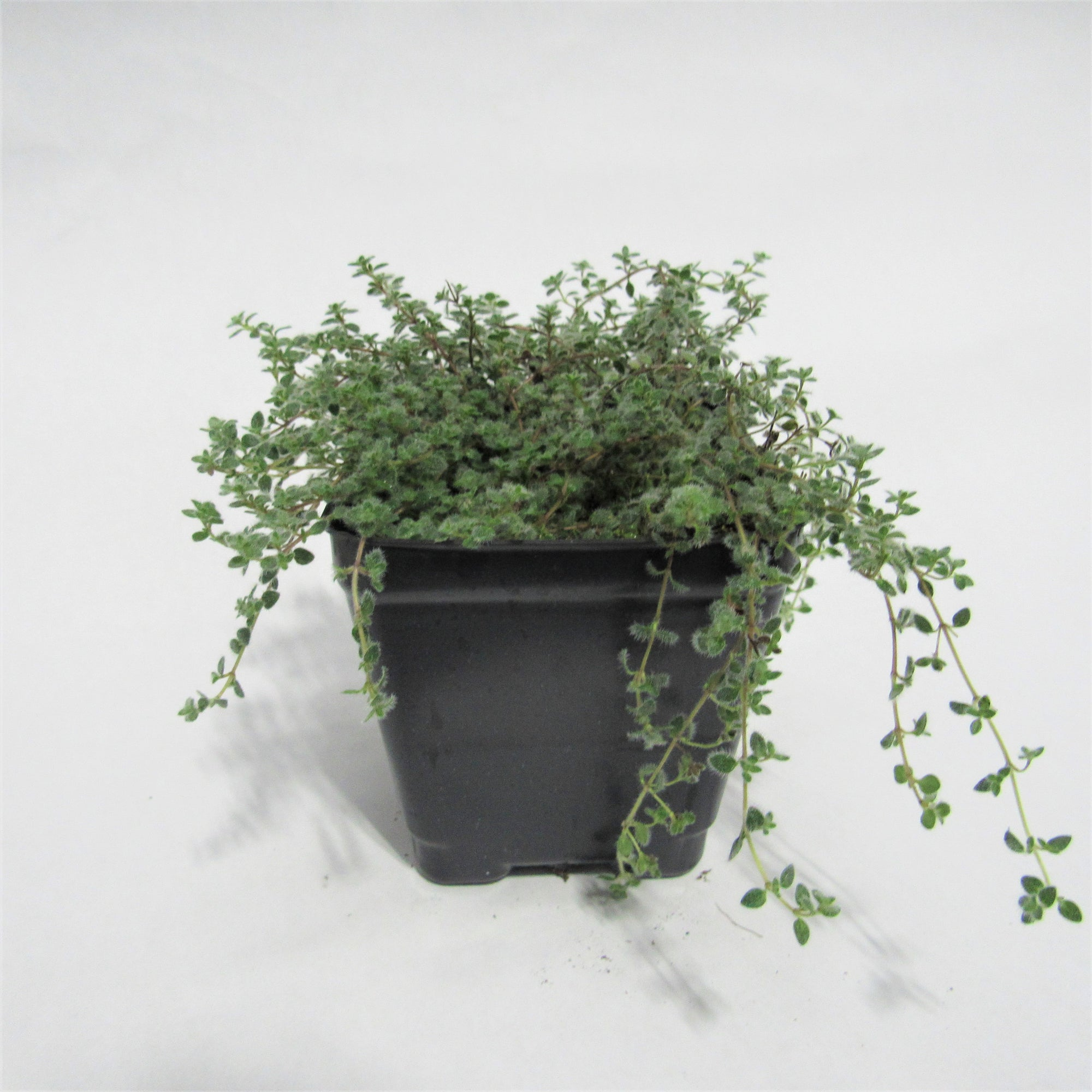 Thyme 'Woolly'