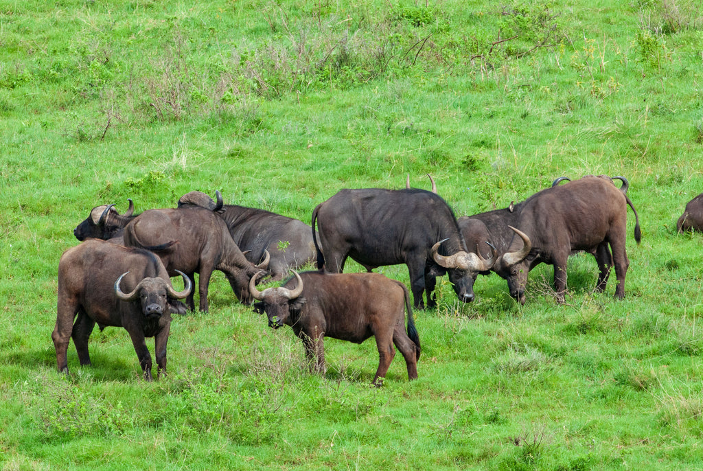 Herd of African buffalos (Syncerus caffer) in Ngorongoro Conservation Area