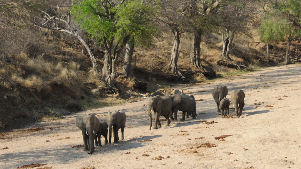 Elephant herds in northern Tanzania