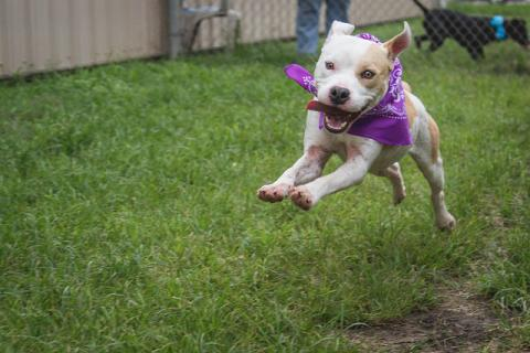 An adopted shelter dog running around the yard after finding her forever home.