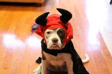 Dog in a devil costume for Halloween looks grumpy because his owner doesn't use DoggieLawn.