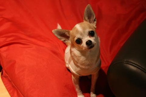 Chihuahuas are the perfect apartment dog and love using DoggieLawn's indoor grass potty patch.