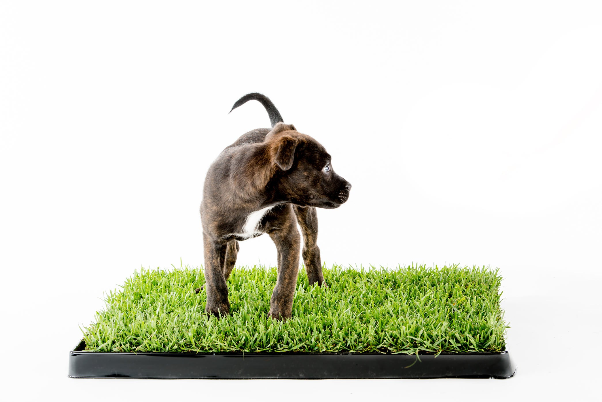 Dog standing on Real grass