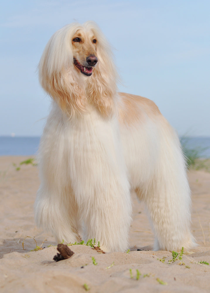 Afghan Hounds are number one on our list of dogs that are difficult to train.