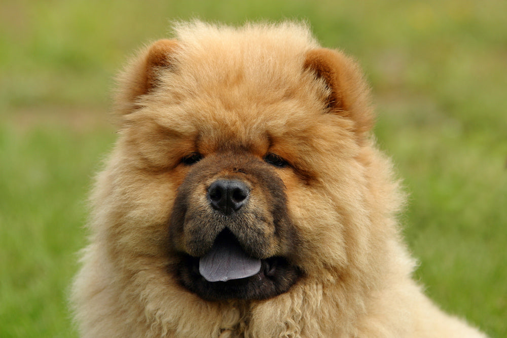 Chow Chows are yet another adorable, yet difficult to train breed of dogs.
