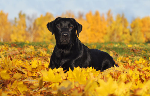 Black lab in the forest fall leaves
