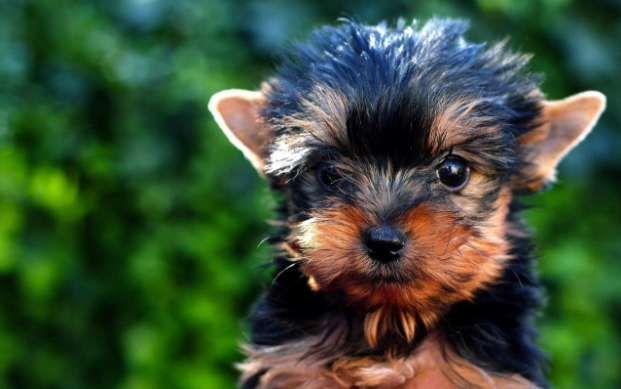 The yorkie tops our list of cutest dogs.