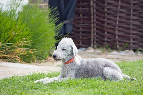 Bedlington Terrier Hypoallergenic On Grass