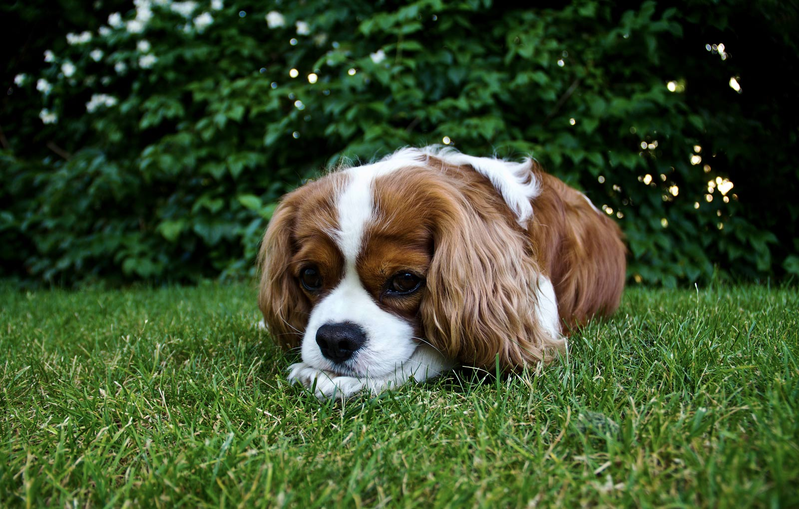 dog resting on the grass